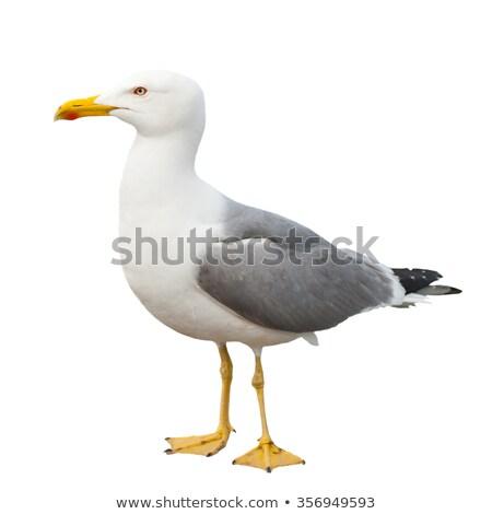 Bilimsel ad tipik akdeniz kuş tüy Stok fotoğraf © faabi