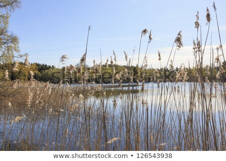 A tree and reeds at a lake Stock photo © michaklootwijk