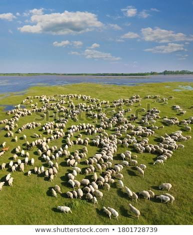 donkey eating grass near a flock of sheeps Stock photo © Giulio_Fornasar