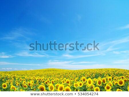 Tournesol domaine tournesols fleur nature Photo stock © Photooiasson