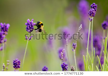 Bumble bee in lavender flower Stock photo © bdspn