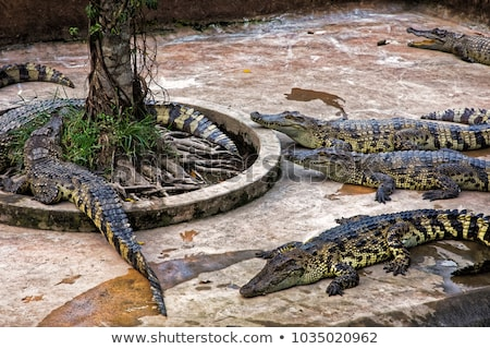 Crocodiles delta Vietnam vedere animal pericol Imagine de stoc © boggy