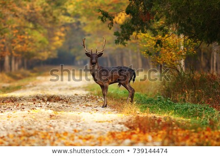 fallow deer buck on forest road stock photo © taviphoto
