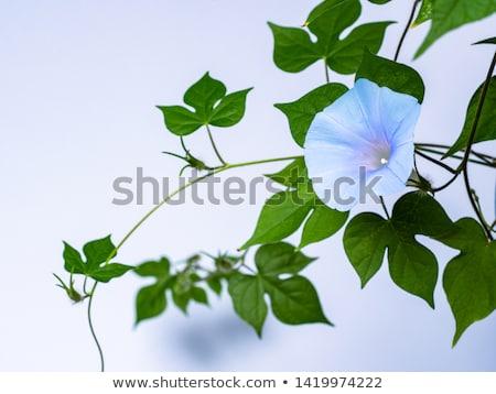 Rano chwała kwiat fioletowy kolor ilustracja Zdjęcia stock © colematt