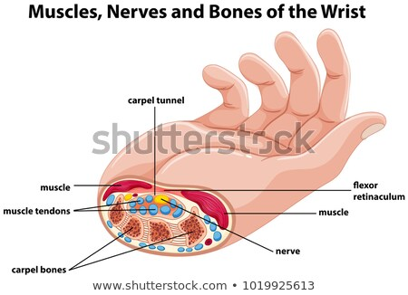 Diagram showing human hand with muscles and nerves Stock photo © colematt