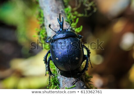 Сток-фото: Forest Dung Beetle