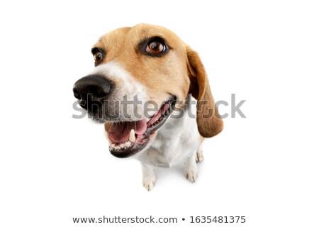 Grandangolo shot adorabile beagle seduta bianco Foto d'archivio © vauvau