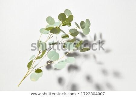 Yaprak dökmeyen dal doğal bitki gölgeler üzerinde Stok fotoğraf © artjazz