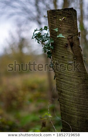Green ivy growing up a wooden fence Stock photo © Frankljr
