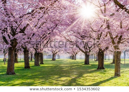 Stock photo: wonderful blooming trees by springtime