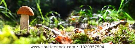 Otono setas crecer forestales magia hermosa Foto stock © grafvision