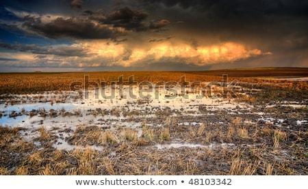 Búzamező vihar részlet erőteljes mező kukorica Stock fotó © taviphoto