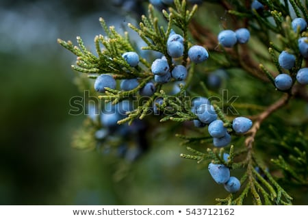 juniper branch closeup Stock photo © tarczas
