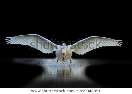 One White Swan 2 Stock photo © kimmit
