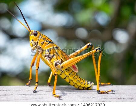 Sauterelle sol herbe prairie insecte bug Photo stock © jordanrusev