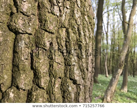 Foto stock: Primrose In Hornbeam Forest