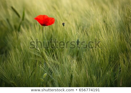 Magányos virág vad piros pipacs kék ég Stock fotó © fogen