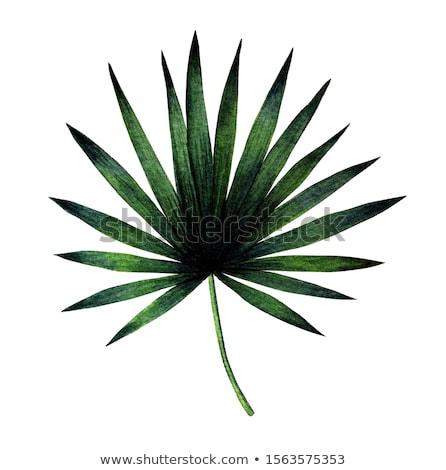 Vu isolé blanche palmier feuille verte vert Photo stock © robuart