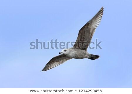 American Herring Gull Stock photo © ca2hill