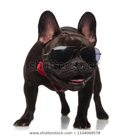 Francés bulldog rojo mirando curioso cachorro Foto stock © feedough