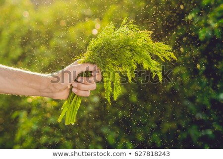 Bunch of fennel in a hand of a man with a splashes of water in air. Stock photo © galitskaya
