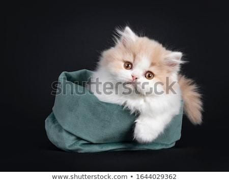Stúdiófelvétel imádnivaló házimacska ül fehér macska Stock fotó © vauvau