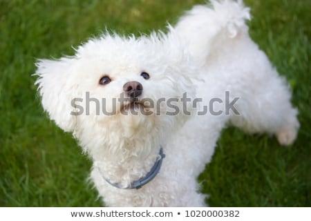 Retrato adorable perro aislado blanco Foto stock © vauvau