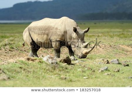 Big male White rhino standing in the grass. Stock photo © simoneeman