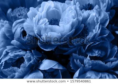 Fresh peonies on blue Stock photo © neirfy