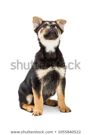 Stúdiófelvétel imádnivaló vegyes fajta kutyakölyök ül Stock fotó © vauvau