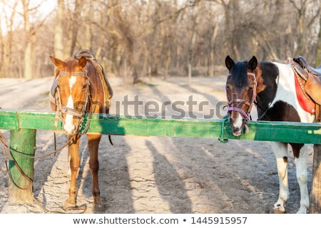 Pair of horses tied to fence Stock photo © backyardproductions