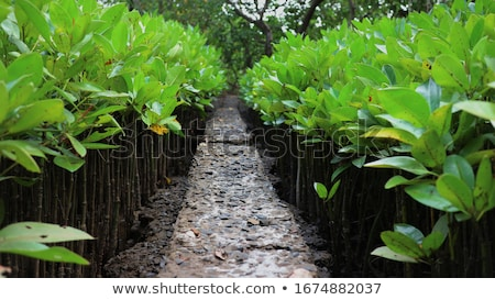 young mangrove plantation Stock photo © smithore