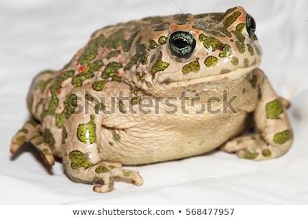 big toad Stock photo © SRNR