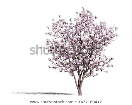 Stok fotoğraf: Manolya · ağaç · bahar · çiçek · doğa