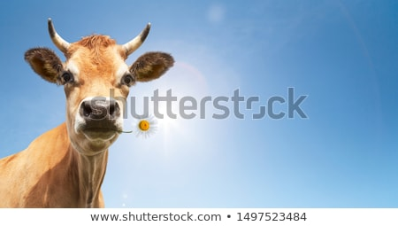 Brown Cow from Frontal Stock photo © tepic