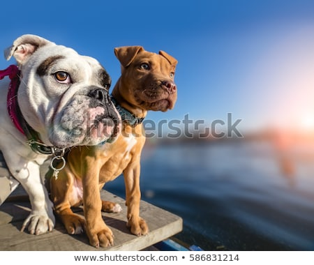 Two Dogs on the Dock Stock photo © Gordo25