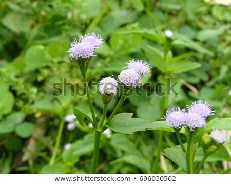 virágok · kecske · gaz · kicsi · kék · zöld - stock fotó © yongkiet