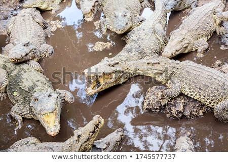 многие американский Крокодилы банка реке воды Сток-фото © OleksandrO
