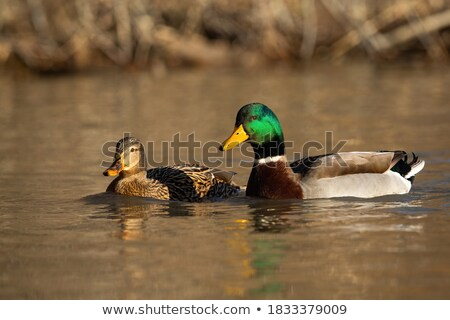 tavuk · ördek · yüzmek · birlikte · boyalı · mavi - stok fotoğraf © suegresham