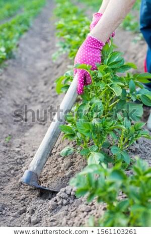 молодые · картофеля · растений · ребенка · небольшой · области - Сток-фото © nobilior