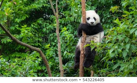 panda bear with bamboo branch stock photo © derocz