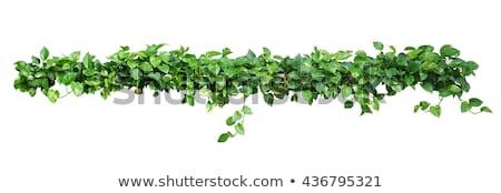 Klimmen plant foto muur planten kan Stockfoto © tracer