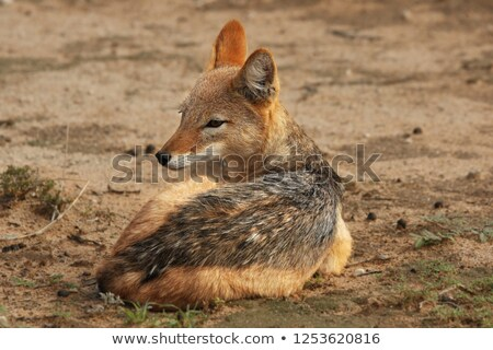 Black-backed jackal laying in the sand. Stock photo © simoneeman