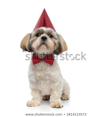 elegant shih tzu sitting while wearing birthday hat Stock photo © feedough