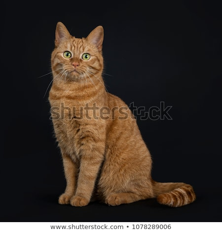 Deep red European Shorthair / street cat Stock photo © CatchyImages
