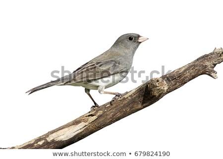 Karanlık yalıtılmış beyaz doğa kuş tüy Stok fotoğraf © shawlinmohd