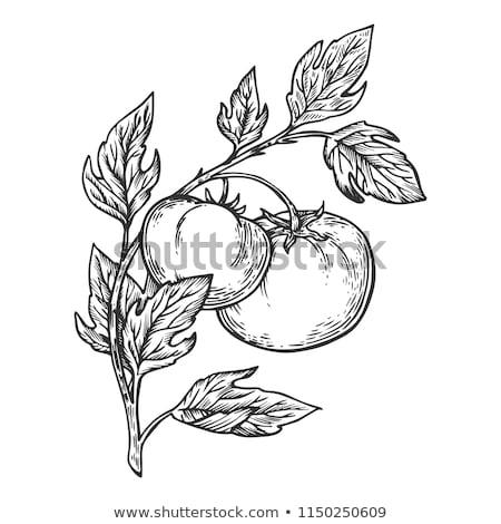 Woodcut tomato Stock photo © sifis