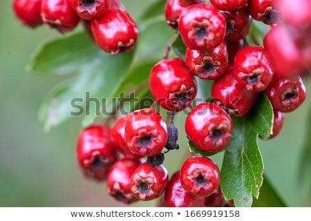 Hawthorn Berries Stock photo © suerob