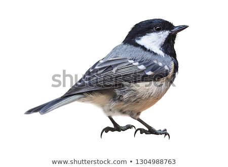 parus ater Stock photo © taviphoto
