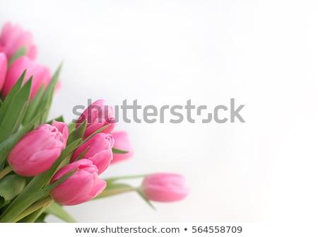 Petals of pink tulip Stock photo © ssuaphoto